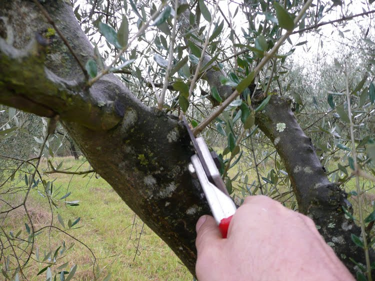 Olive-tree-pruning_internal-shoots1