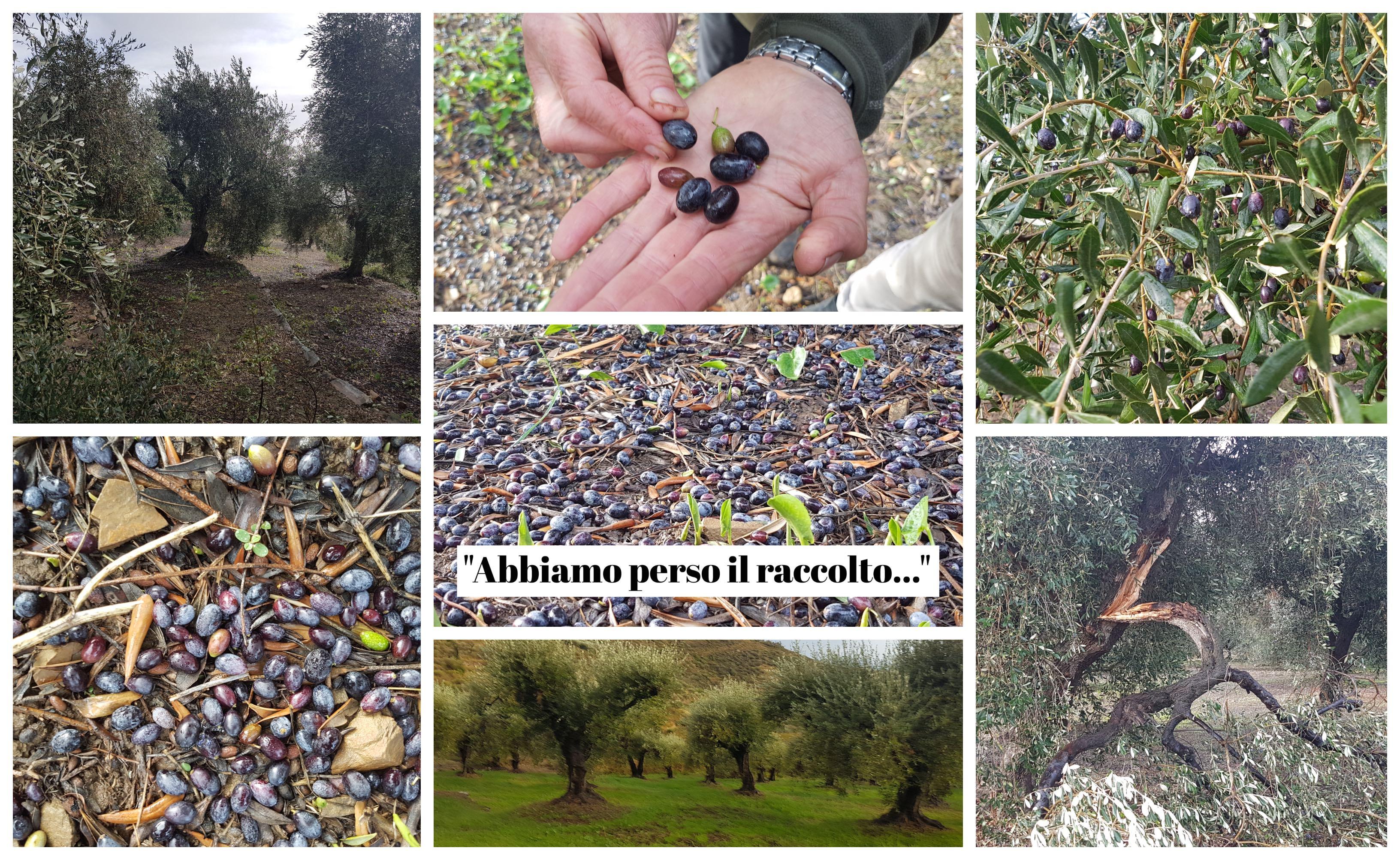 olive-maltempo-allerta-vento-olivicoltura-imperia